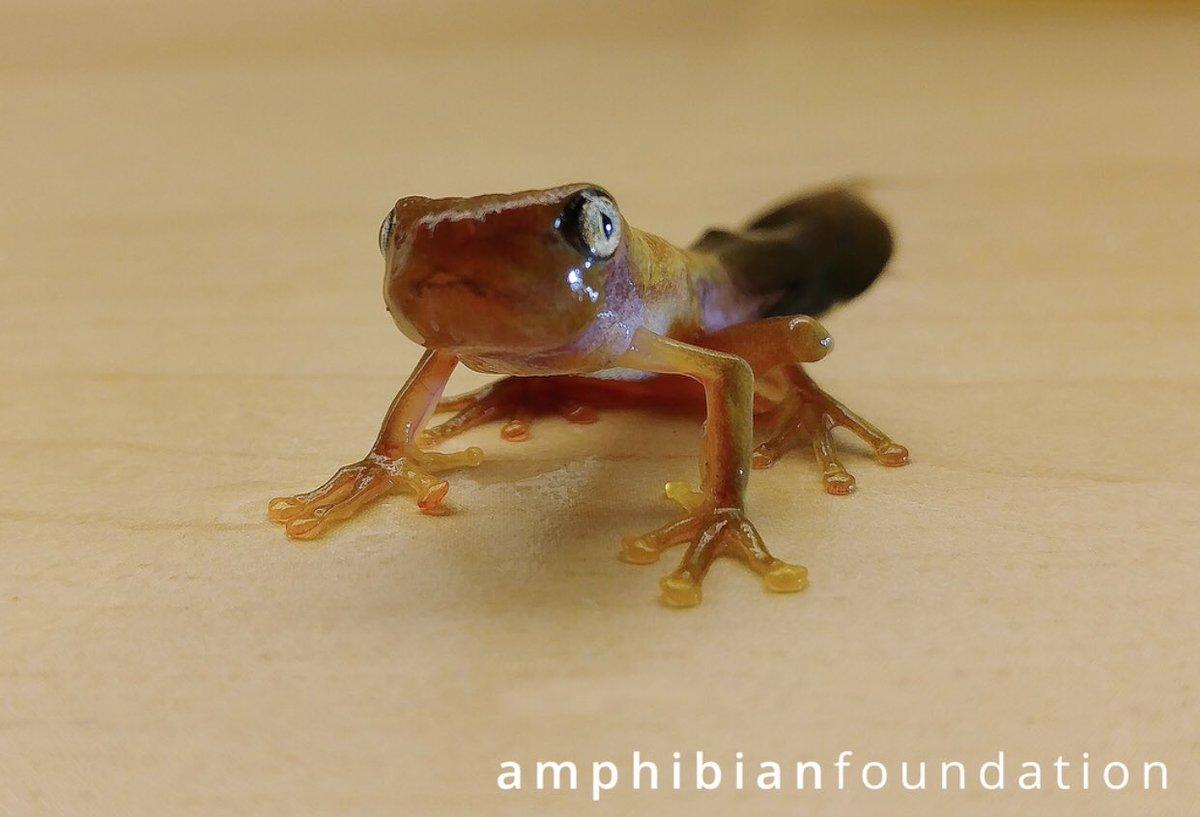 Amphibian Foundation