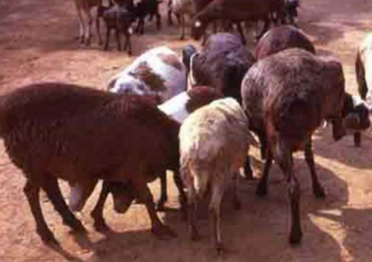 Nyeri man pleads guilty to stealing his employer's sheep to celebrate Jamhuri Day