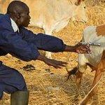 Animal vaccination campaign to start in Northern Bahr el Ghazal