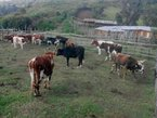 Elgeyo vaccinates cows after foot and mouth disease outbreak