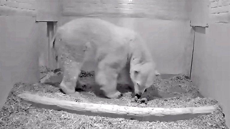 Birth of Baby Polar Bear at German Zoo Caught onCamera