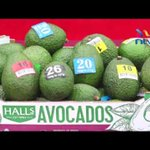 Murang'a farmers reap good returns from avocado farming