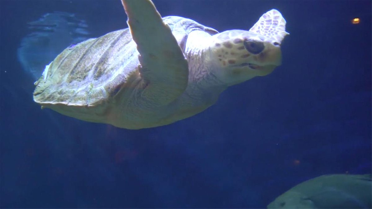 Injured sea turtle gets a 3-D printed boost