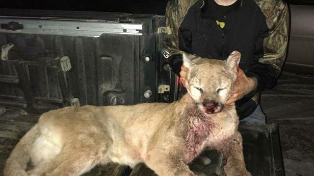 Rock Rapid teen nabs mountain lion while deer hunting