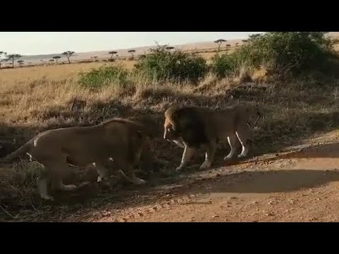 Fearless Male lions of the Mara