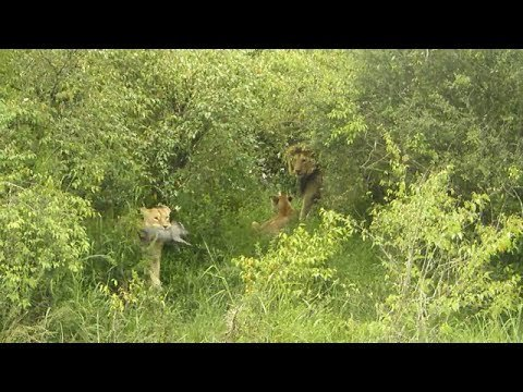 lionesses try to fight off a big nomadic male lion