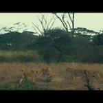 Pride of lions corner a crocodile