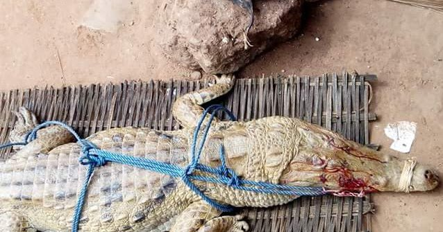 See The Big Alligator Caught By Young Man In Cross River State https://t.co/V42CGeW4ND https://t.co/YsBMH8sHQA