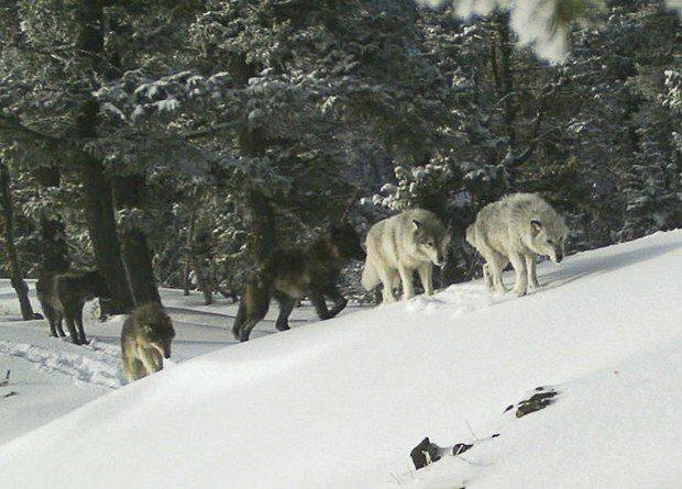 Reward for information on slain Washington wolves grows to $20,000