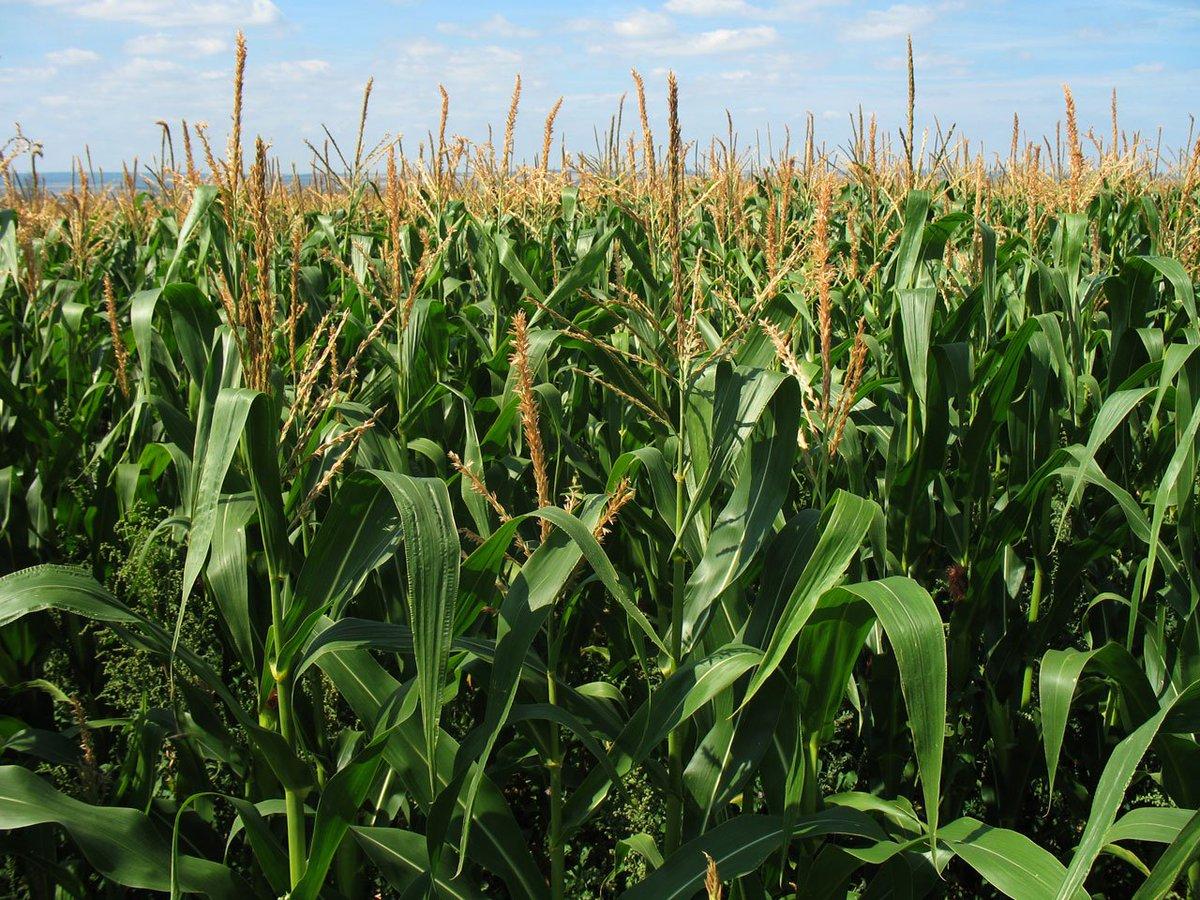 #Corn