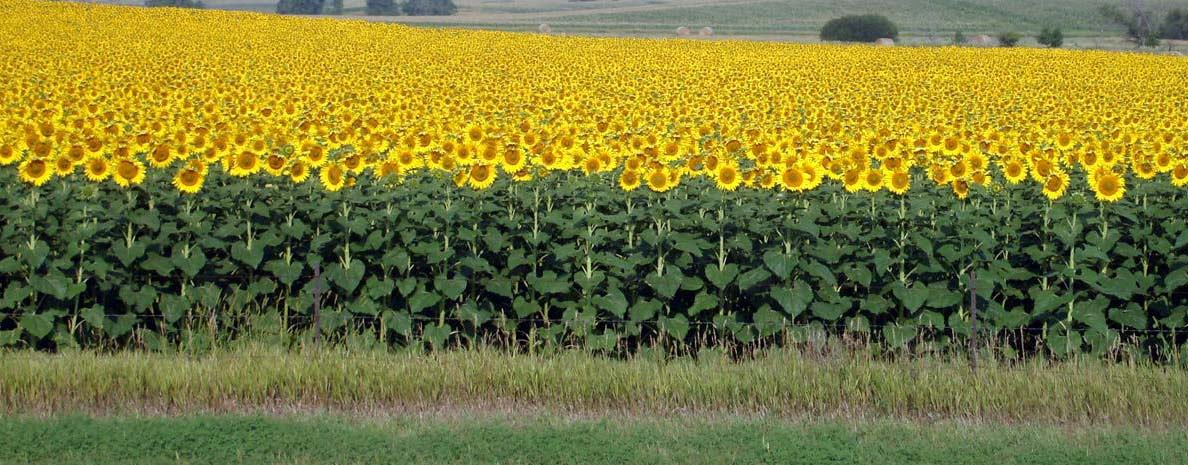 Over 300 sunflower farmers benefit from special project