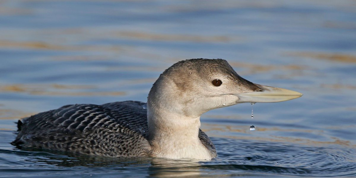 Yellow-billed loon observed in Great Falls