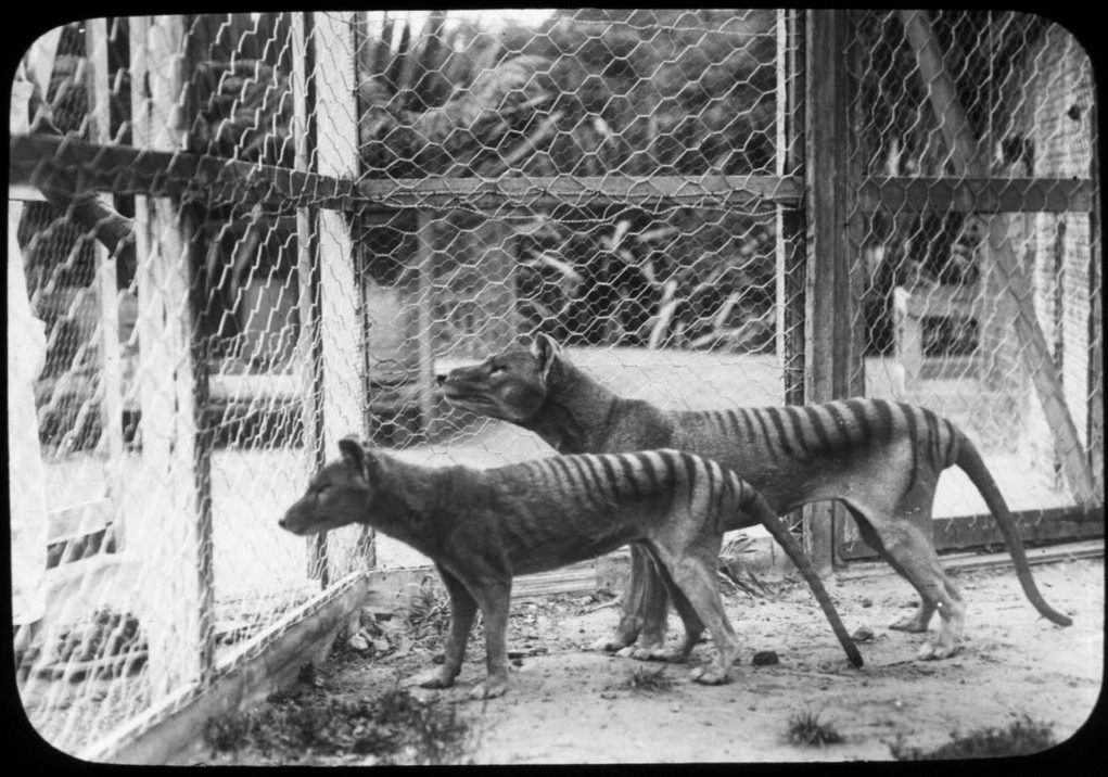 DNA breakthrough could bring back Tasmanian tiger