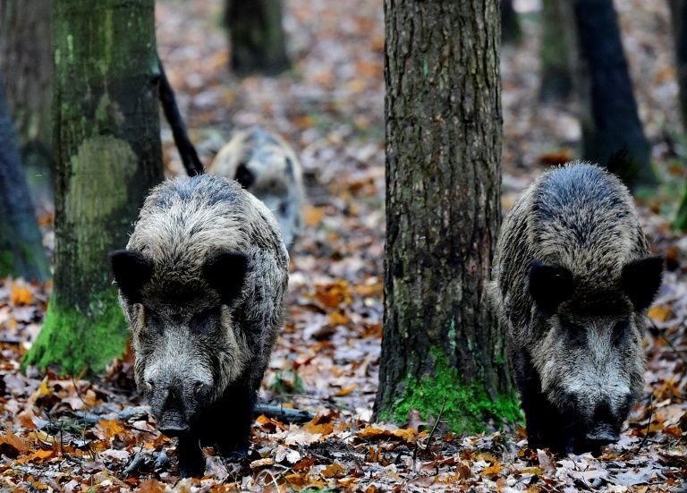 The new Berliners: wild boars thrive in German capital