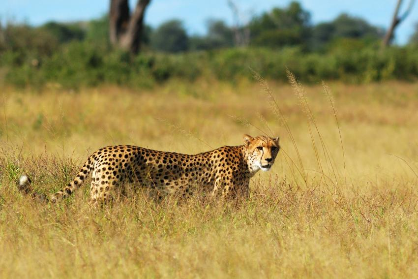 Southern Africa's #cheetah population much smaller than believed. https://t.co/YLyIv0GBOE https://t.co/kayELt0XMp