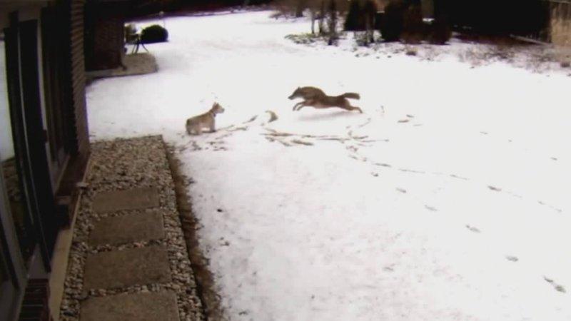 Video shows coyote attacking dog in suburban Illinoisbackyard