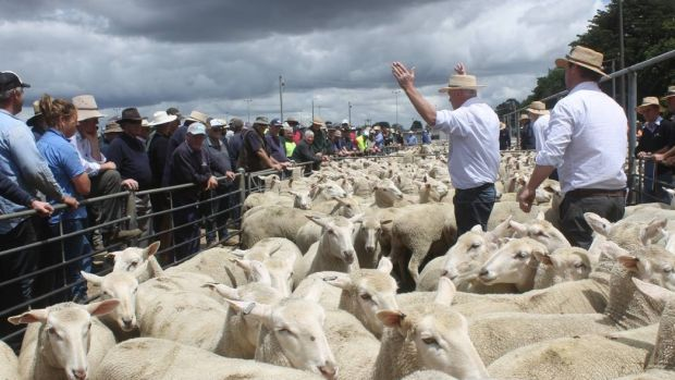 Brazen thieves steal 60 ewes at stockyard, as high prices lead to spate of sheep robberies
