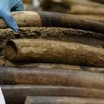 Father and son arrested in Samburu trying to sell 27 kilograms Ivory to police officers