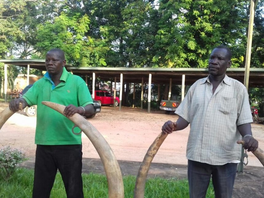 Teacher, county officer arrested in Kwale with 50kg ivory