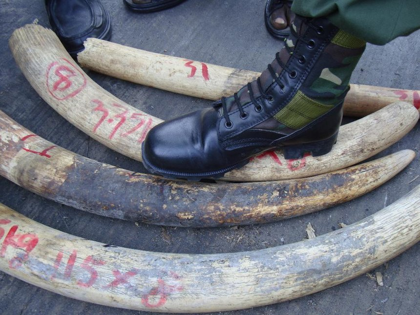 Father and son arrested with ivory worth Sh5.4m in Samburu