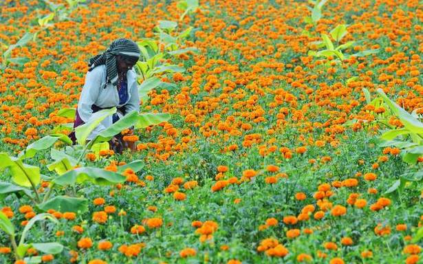 Farmers cultivate other crops as price of marigold falls