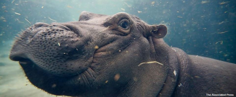 Zoo officials to take Fiona the hippo off bottle feeding