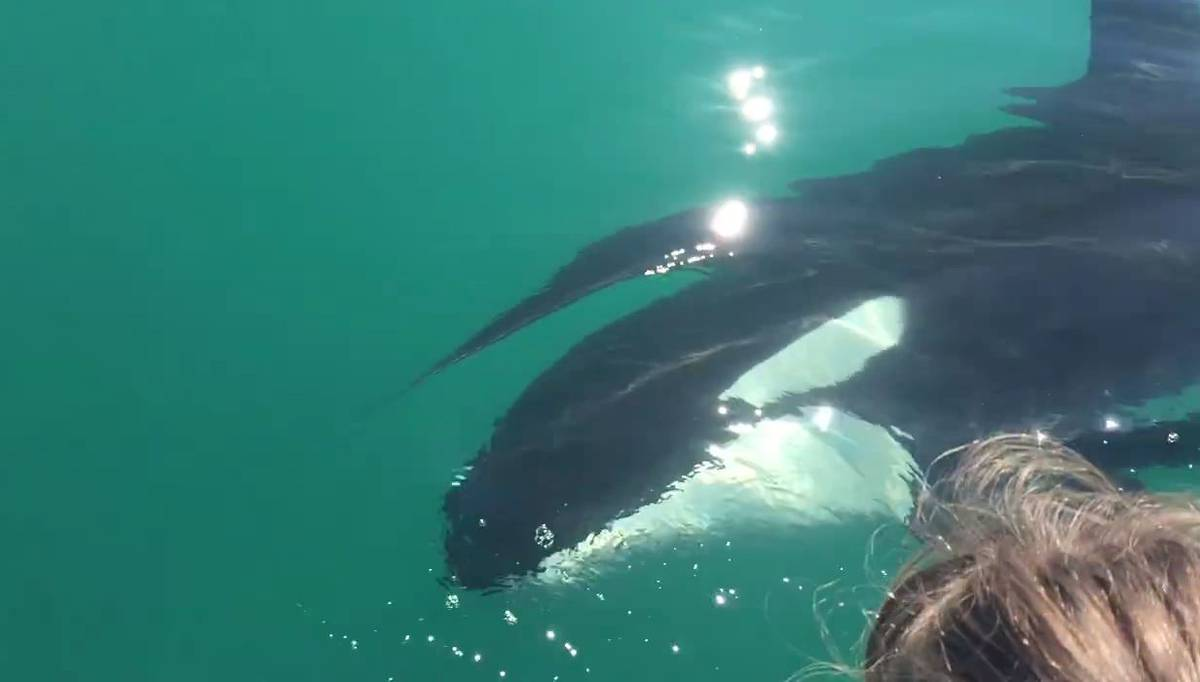 Incredible footage of killer whales joining Akaroa dolphin tour