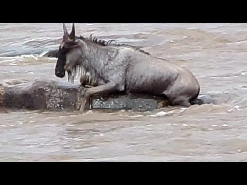 Tired and stuck wildebeests vs a crocodile