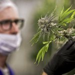 82 percent of WV doctors 'interested' in medical marijuana