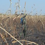 Fire destroys sorghum plantation in Jonglei