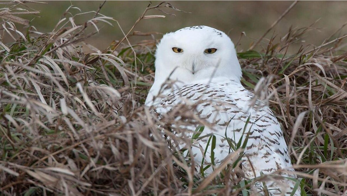 Guide to watching snowy owls in Lake County