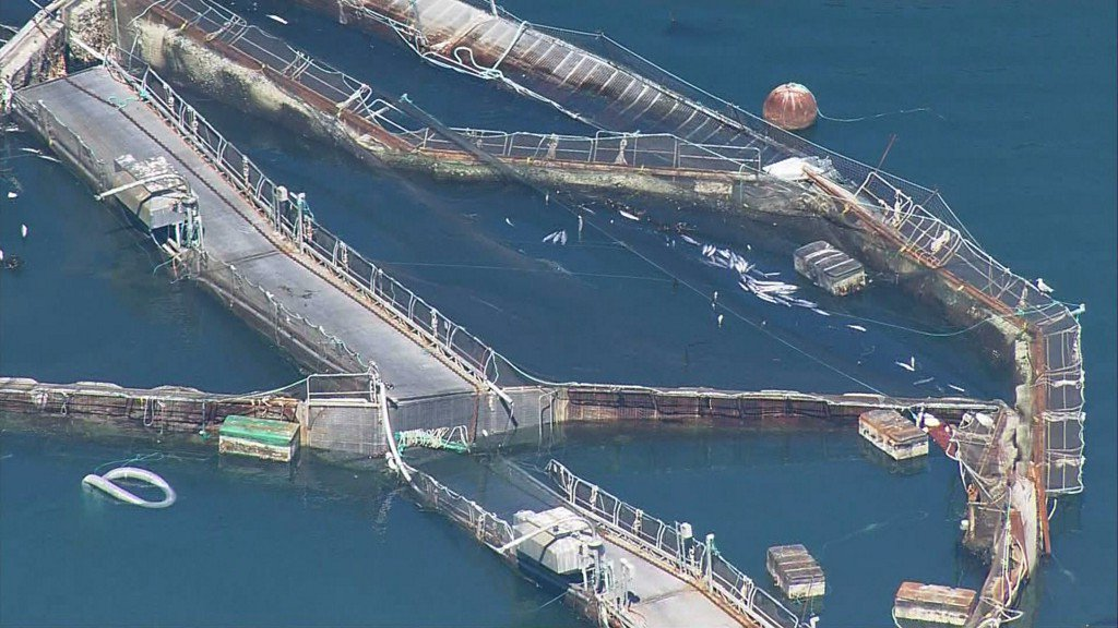 Washington fish farm lease canceled after Atlantic salmon escape