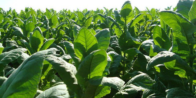100 000 tobacco growers register | The