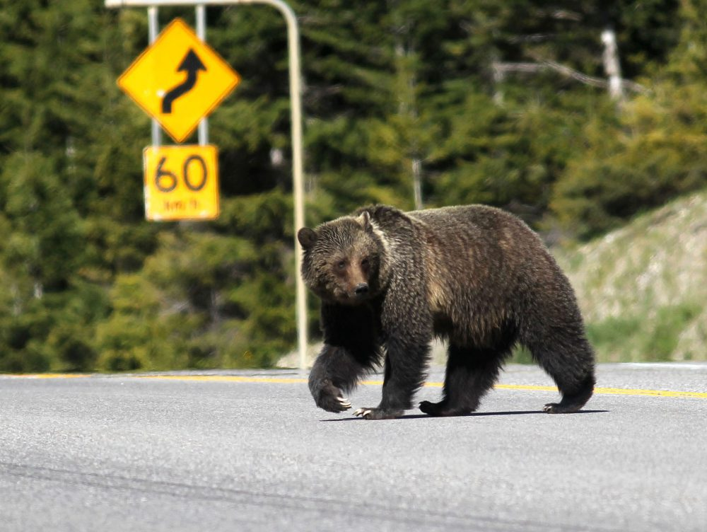 B.C. ends grizzly bear hunt, with First Nations exception