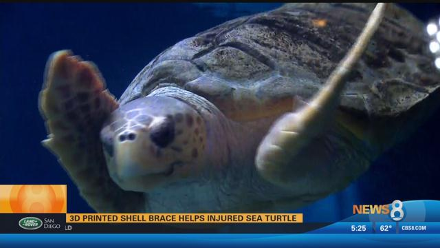 Birch Aquarium: 3D printed shell brace helps injured sea turtle
