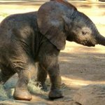 Newborn elephant abandoned in Masai Mara airlifted to orphanage