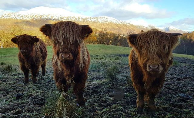 Our last #Coosday of 2017 comes from these 3 coo-ties in #Argyll! �� #ScotSpirit �� IG/scottish_cycle_scenes https://t.co/S1gPnzLm4y