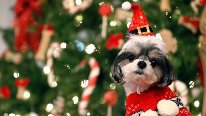 It's Christmastime, and that means dogs are now at peak risk of chocolate poisoning https://t.co/71esdmH0o9 https://t.co/i8KIuCtE43