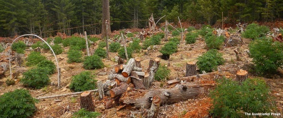 Legal pot in California brings host of environmental rules.