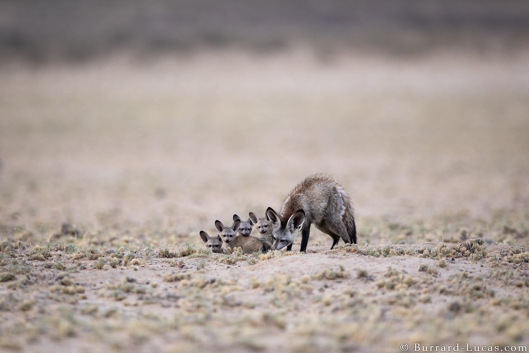 Bat-eared fox cubs! https://t.co/vfAjsNLX4k