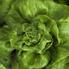 Death by lettuce: E. coli outbreak blamed on romaine
