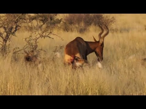wild dogs vs a hartebeest