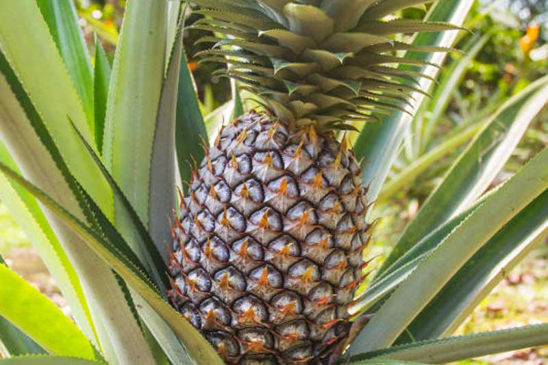 Kericho County asked to fast track construction of pineapple processing plant
