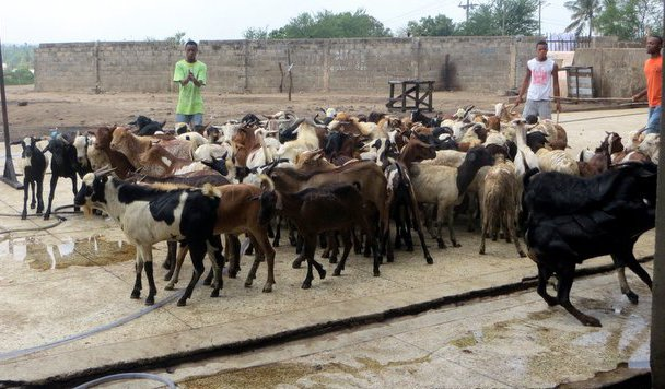 Cattle prices increase at Pugu market
