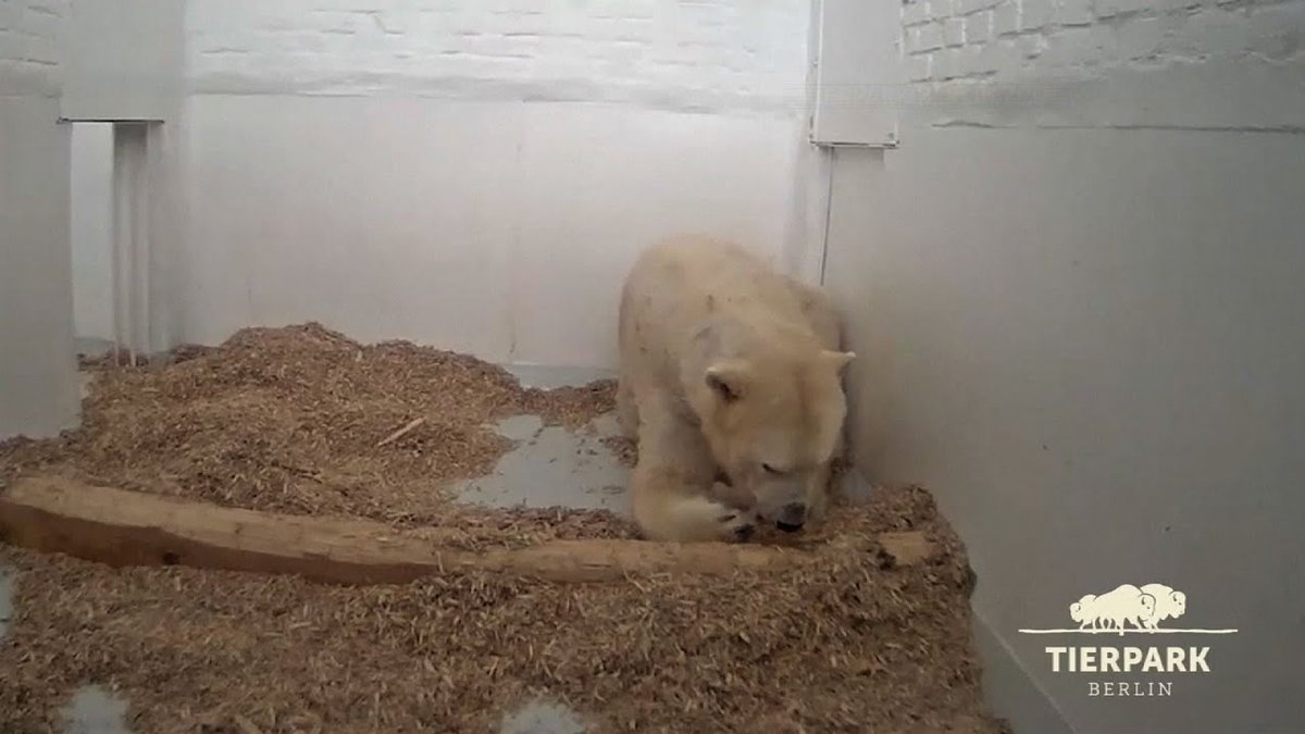 Polar Bear Cub At Berlin Zoo Opens Its Eyes