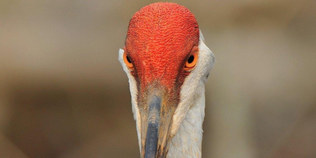 Feds: If Michigan asks us for sandhill crane hunt, we'll grant it