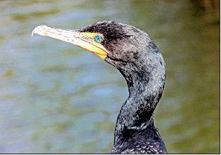 State fish farms have OK to kill cormorants
