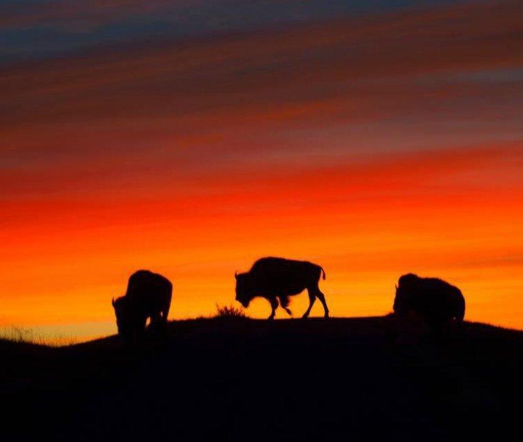 Stop & enjoy a sunset with #bison at Fort Niobrara #WildlifeRefuge #Nebraska https://t.co/G0DZfZd7ZW