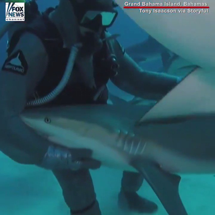 SHARK WHISPERER: This diver showed off his skills of bringing a reef shark to a relaxed, immobile state. https://t.co/qTk8BDzYhV