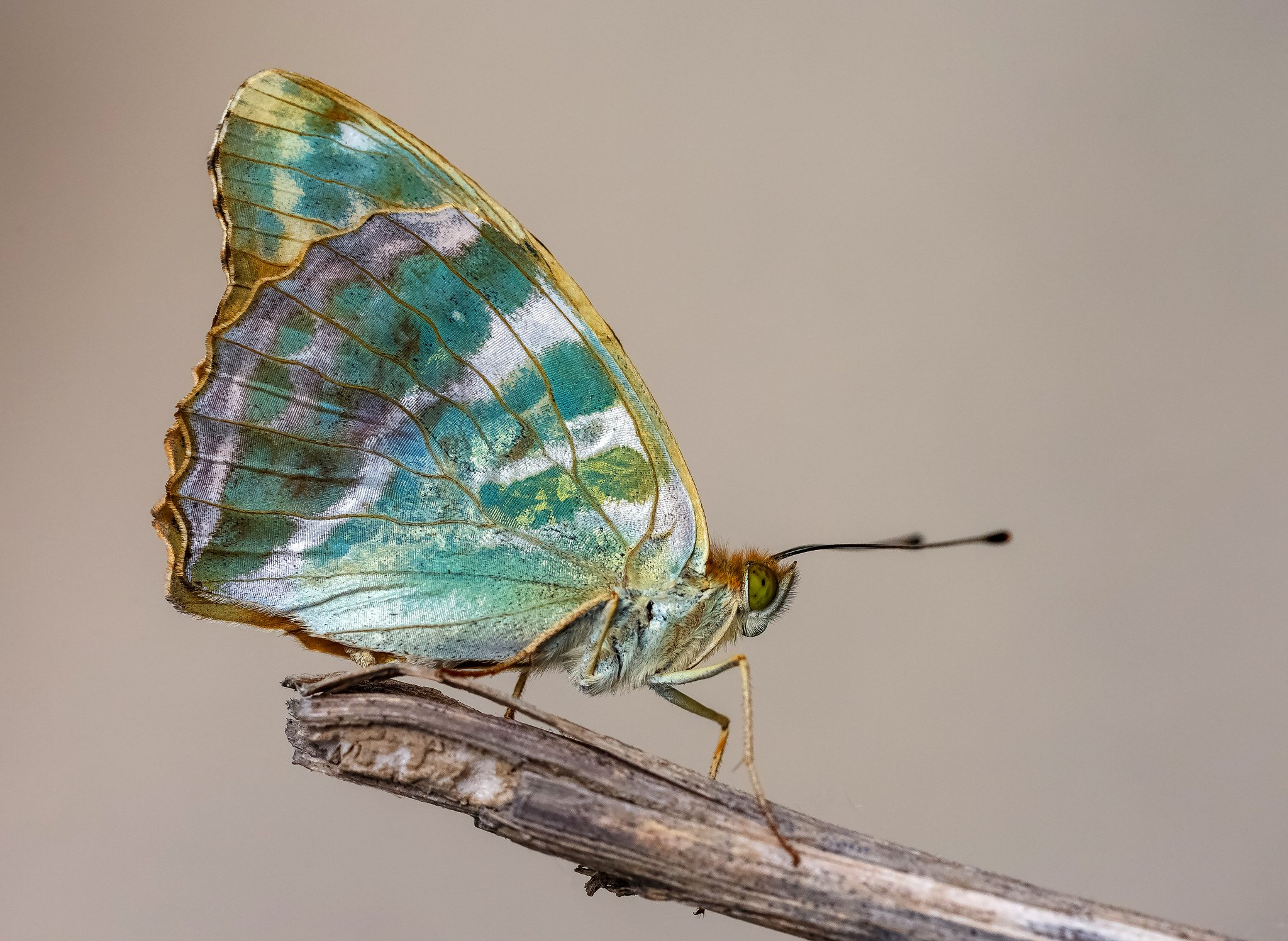 Spectacular iridescent colours on the underside of this Silver-washed Fritillary! Photographed by Adam Gor ✨#FridayFeeling https://t.co/vYpBUpAsBG
